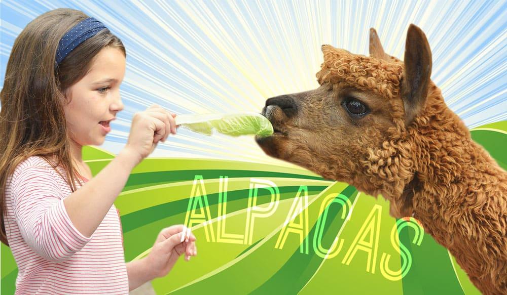girl meets a real alpaca at green meadows farm brooklyn ny